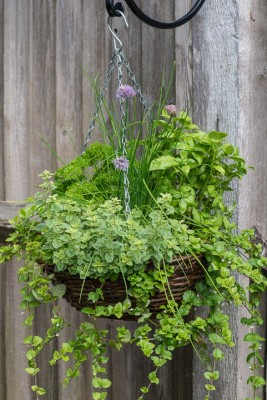 wpid18173-Herb-Hanging-Basket-in-June-QHAA137-nicola-stocken.jpg