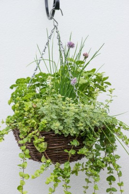 wpid18175-Herb-Hanging-Basket-in-June-QHAA138-nicola-stocken.jpg