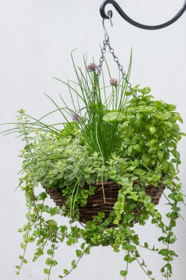 wpid18177-Herb-Hanging-Basket-in-June-QHAA139-nicola-stocken.jpg