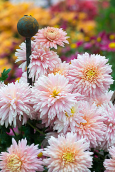 Thumbnail image for Hardy Chrysanthemums in Autumn