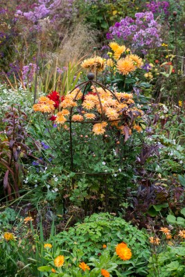 wpid19414-Hardy-Chrysanthemums-in-Autumn-GNOW008-nicola-stocken.jpg