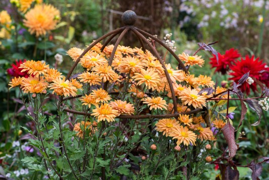 wpid19416-Hardy-Chrysanthemums-in-Autumn-GNOW009-nicola-stocken.jpg