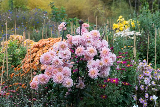 wpid19422-Hardy-Chrysanthemums-in-Autumn-GNOW023-nicola-stocken.jpg