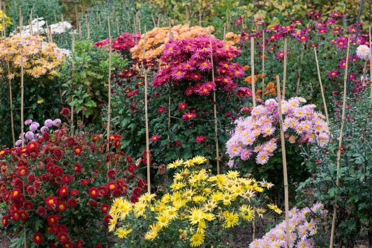 wpid19426-Hardy-Chrysanthemums-in-Autumn-GNOW026-nicola-stocken.jpg