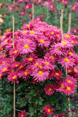 wpid19428-Hardy-Chrysanthemums-in-Autumn-GNOW027-nicola-stocken.jpg