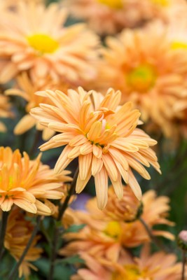wpid19430-Hardy-Chrysanthemums-in-Autumn-GNOW031-nicola-stocken.jpg
