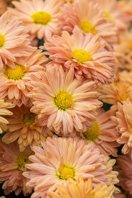 wpid19432-Hardy-Chrysanthemums-in-Autumn-GNOW032-nicola-stocken.jpg