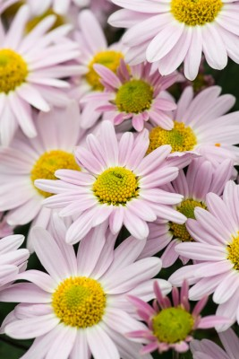 wpid19434-Hardy-Chrysanthemums-in-Autumn-GNOW033-nicola-stocken.jpg