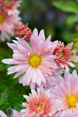 wpid19436-Hardy-Chrysanthemums-in-Autumn-GNOW034-nicola-stocken.jpg