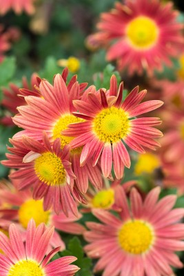 wpid19438-Hardy-Chrysanthemums-in-Autumn-GNOW035-nicola-stocken.jpg