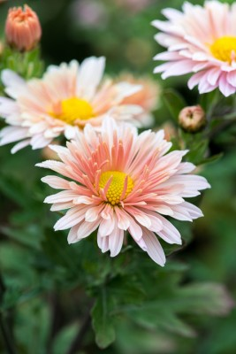 wpid19440-Hardy-Chrysanthemums-in-Autumn-GNOW037-nicola-stocken.jpg