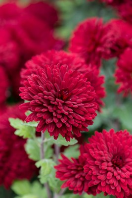 wpid19442-Hardy-Chrysanthemums-in-Autumn-GNOW038-nicola-stocken.jpg