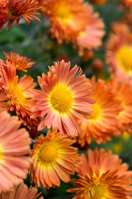 wpid19444-Hardy-Chrysanthemums-in-Autumn-GNOW039-nicola-stocken.jpg