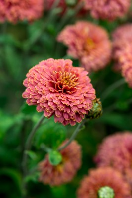 wpid19448-Hardy-Chrysanthemums-in-Autumn-GNOW041-nicola-stocken.jpg