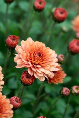 wpid19450-Hardy-Chrysanthemums-in-Autumn-GNOW042-nicola-stocken.jpg