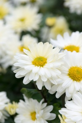wpid19456-Hardy-Chrysanthemums-in-Autumn-GNOW046-nicola-stocken.jpg