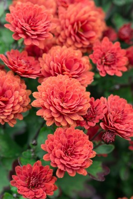 wpid19458-Hardy-Chrysanthemums-in-Autumn-GNOW048-nicola-stocken.jpg