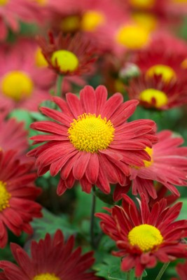 wpid19460-Hardy-Chrysanthemums-in-Autumn-GNOW049-nicola-stocken.jpg