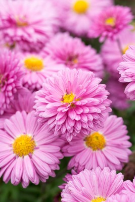 wpid19462-Hardy-Chrysanthemums-in-Autumn-GNOW050-nicola-stocken.jpg