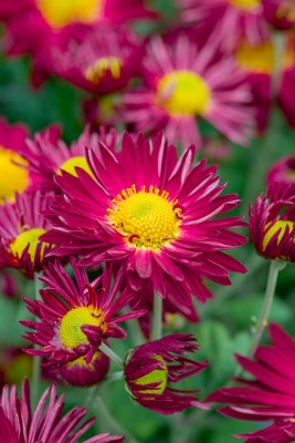 wpid19464-Hardy-Chrysanthemums-in-Autumn-GNOW051-nicola-stocken.jpg