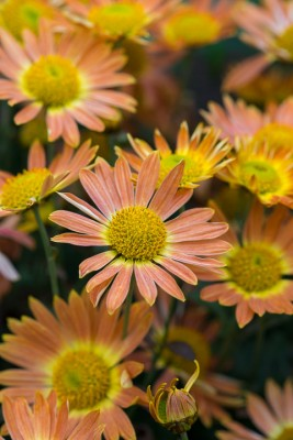 wpid19466-Hardy-Chrysanthemums-in-Autumn-GNOW052-nicola-stocken.jpg