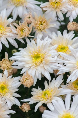 wpid19468-Hardy-Chrysanthemums-in-Autumn-GNOW053-nicola-stocken.jpg