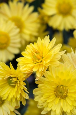 wpid19470-Hardy-Chrysanthemums-in-Autumn-GNOW054-nicola-stocken.jpg