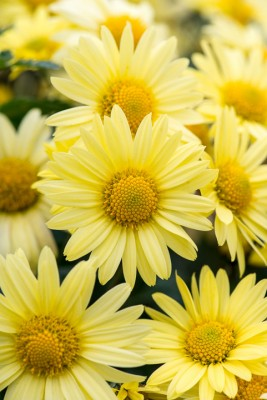 wpid19472-Hardy-Chrysanthemums-in-Autumn-GNOW055-nicola-stocken.jpg