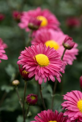 wpid19474-Hardy-Chrysanthemums-in-Autumn-GNOW056-nicola-stocken.jpg