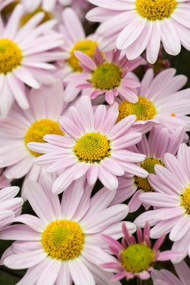 wpid19476-Hardy-Chrysanthemums-in-Autumn-GNOW057-nicola-stocken.jpg