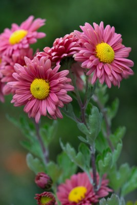wpid19480-Hardy-Chrysanthemums-in-Autumn-GNOW059-nicola-stocken.jpg