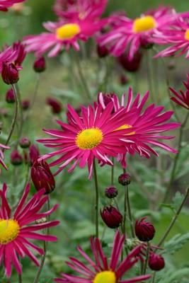wpid19482-Hardy-Chrysanthemums-in-Autumn-GNOW060-nicola-stocken.jpg