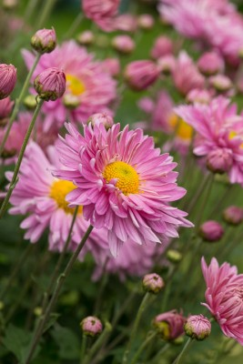 wpid19484-Hardy-Chrysanthemums-in-Autumn-GNOW061-nicola-stocken.jpg