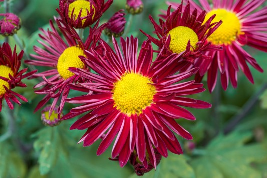 wpid19486-Hardy-Chrysanthemums-in-Autumn-GNOW062-nicola-stocken.jpg