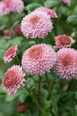 wpid19488-Hardy-Chrysanthemums-in-Autumn-GNOW063-nicola-stocken.jpg