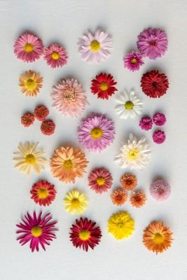 wpid19490-Hardy-Chrysanthemums-in-Autumn-GNOW064-nicola-stocken.jpg