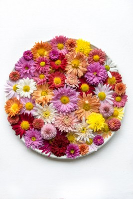 wpid19494-Hardy-Chrysanthemums-in-Autumn-GNOW067-nicola-stocken.jpg