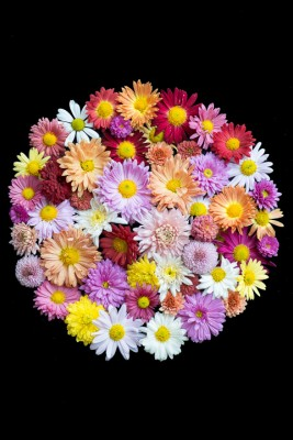 wpid19496-Hardy-Chrysanthemums-in-Autumn-GNOW068-nicola-stocken.jpg