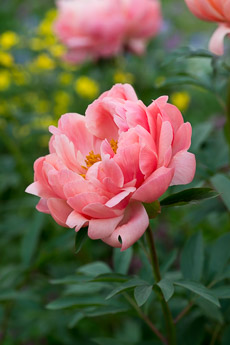 Thumbnail image for Peony Plant Profile