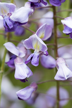 Thumbnail image for Wisteria Plant Profile