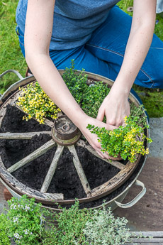 Thumbnail image for Planting a Thyme Wheel Step by Step