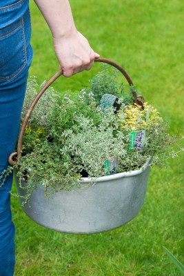 wpid19804-Planting-a-Thyme-Wheel-Step-by-Step-QCON485-nicola-stocken.jpg