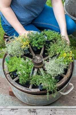 wpid19822-Planting-a-Thyme-Wheel-Step-by-Step-QCON494-nicola-stocken.jpg