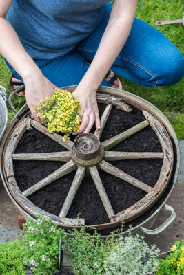 wpid19824-Planting-a-Thyme-Wheel-Step-by-Step-QCON495-nicola-stocken.jpg