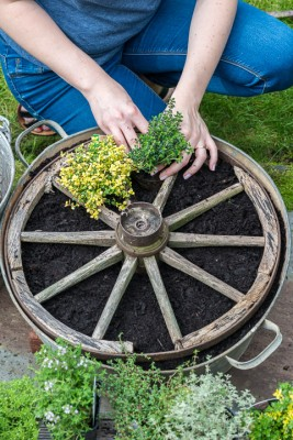 wpid19826-Planting-a-Thyme-Wheel-Step-by-Step-QCON496-nicola-stocken.jpg