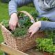 Planting-Herb-Basket-QCON684-nicola-stocken.jpg thumbnail