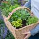 Planting-Herb-Basket-QCON688-nicola-stocken.jpg thumbnail