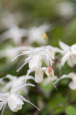 Epimedium-National-Collection-PEPI078-nicola-stocken.jpg