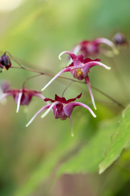 Epimedium-National-Collection-PEPI093-nicola-stocken.jpg