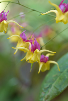 Epimedium-National-Collection-PEPI094-nicola-stocken.jpg